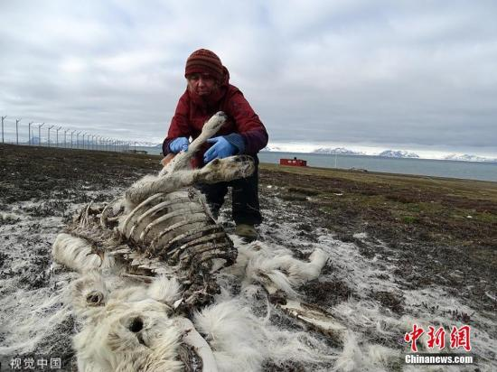 北极地区约200头驯鹿饿死 气候变化或是主因