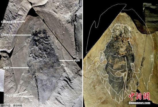 本地工夫7月30日,减拿年夜安大概省多伦多皇家安大概专物馆公布的照片展现了一个正在减拿年夜降基山脉Kootenay国度公园出土的完好的陆地死物Cambroraster falcatus化石。据悉,这类陆地死物约莫糊口正在5.06亿年前。