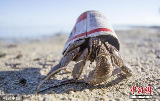 """资料图:7月30日讯,位于中太平洋的密克罗尼西亚的偏远岛屿佩里琉,一只寄居蟹利用废弃的锡罐作为它的""""家""""。据悉,寄居蟹为了保护它们柔软的身体,它们的一生会经常性地更换自己的壳。据介绍,这种甲壳类生物越来越倾向于用废弃垃圾作为自己的""""家"""",而不是真正的贝壳。图片来源:视觉中国"""