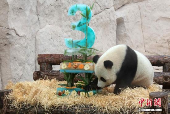 """本地工夫7月31日,莫斯科植物园两只年夜熊猫一路庆贺诞辰。图年夜熊猫正在吃本身的""""诞辰蛋糕""""。"""