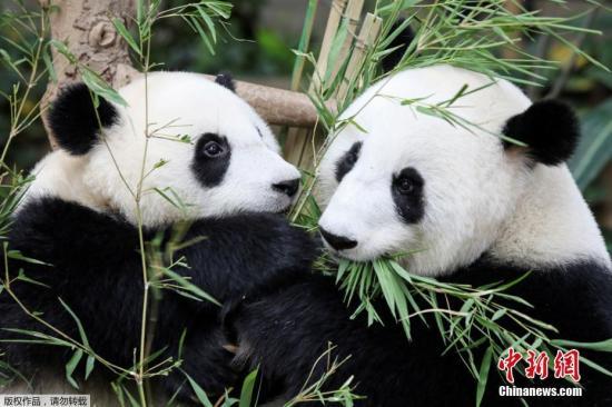 """在马来西亚出生的熊猫宝宝获名""""谊谊"""""""