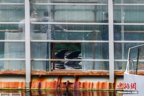 """资料图:图为当地时间2019年7月11日,虎鲸在斯雷德尼亚湾的""""鲸鱼监狱""""里。"""