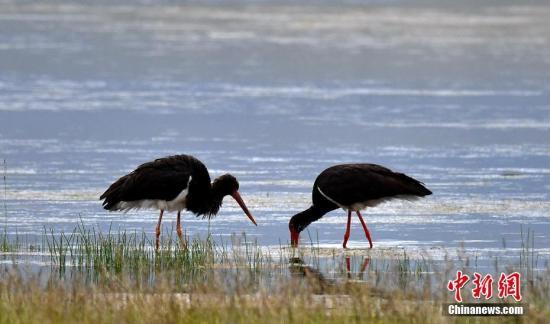 资料图:国家一级保护濒危鸟类黑鹳。肖永浩 摄