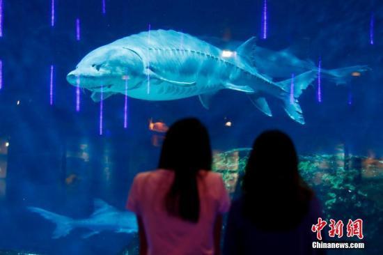 资料图:游客在观赏中华鲟。<a target='_blank' href='http://www.chinanews.com/'>中新社</a>记者 富田 摄