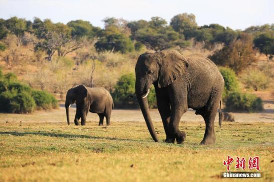 资料图:大象。/p中新社记者 王曦 摄