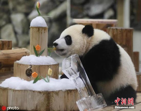 资料图:旅日大熊猫?#23433;输骸薄?图片来源:ICphoto