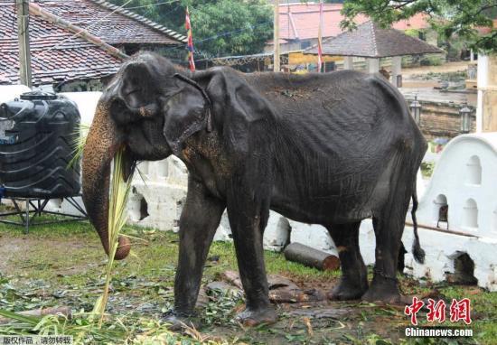 当地时间8月14日,一头名为Tikiri的大象正在休息并接受治疗。今年70岁的Tikiri从5岁起开始被用于游行庆典等活动,因长期过工作且营养不良,目前它已瘦成皮包骨头。目前它从即将举行的庆典活动中被召回,进行疗养。