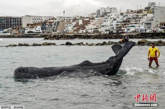 当地时间8月20日,一只5米长的受伤的抹香鲸在秘鲁利马当地海滩搁浅,警察和冲浪者开展救援行动。