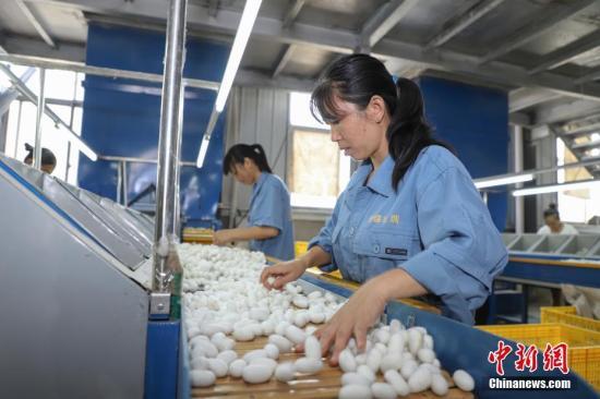 资料图:贵州独山桑蚕产业助民增收。种桑养蚕已成为该县产业扶贫的主导产业之一。中新社记者 瞿宏伦 摄