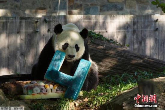 材料图:2019年8月22日,好国华衰顿特区,糊口正在史稀森僧国度植物园的旅好年夜熊猫贝贝庆贺4岁诞辰,获赠诞辰蛋糕。