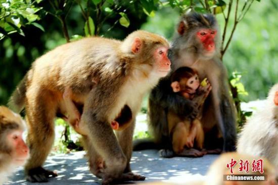 资料图:野生猴子。卓尔文旅供图
