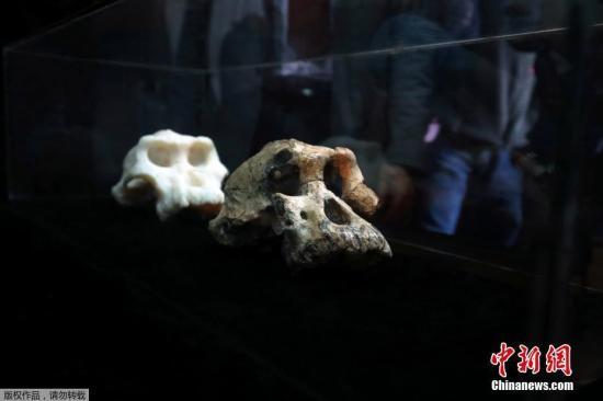 380万年前南方古猿头骨亮相!或颠覆人类演化史(图)