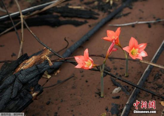 本地工夫9月1日,玻利维亚Chochis四周,一片被丛林年夜水炙烤的地盘上呈现几朵怒放的陈花。