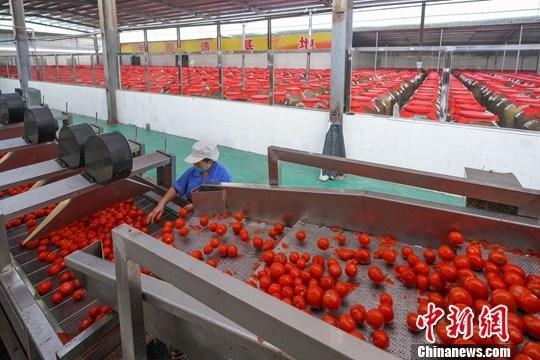 9月3日,在贵州省麻江县一家红酸汤生产企业,一名工人在清洗分拣西红柿,准备进行发酵。红酸汤是贵州省黔东南苗族侗族自治州民众喜爱的一种传统美食,以红酸汤为汤底的酸汤鱼更是苗家闻名的一道特色菜。红酸汤制作工艺历史悠久。近年来,当地大力推动红酸汤传统工艺保护、传承和创新,红酸汤的生产向规模化、现代化、标准化方向发展,并积极向外拓展市场。<a target='_blank' href='http://www.chinanews.com/'>中新社</a>记者 贺俊怡 摄