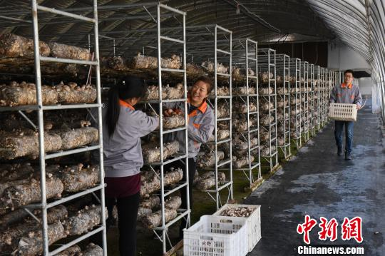 6日,山西省广灵县壶泉镇北野菌业公司员工正在采摘香菇。 霍飞飞 摄