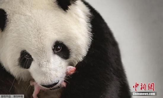 """9月7日消息,德国柏林动物园公布旅德大熊猫""""梦梦""""和她的产下的双胞胎中的一只在一起的照片。旅德大熊猫""""梦梦""""(6岁)于北京时间9月1日在德国产下一对双胞胎大熊猫幼仔,这是中德大熊猫国际合作历史上首次迎来大熊猫新生幼仔。"""