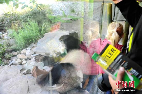 """图为6日下午,雄性大熊猫""""娇庆""""在柏林动物园大熊猫馆内休憩。中新社记者 彭大伟 摄"""