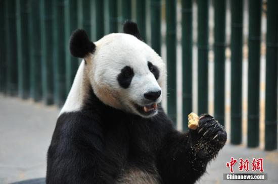 材料图:年夜熊猫。a target='_blank' href='http://www.chinanews.com/'中新社/a记者 于陆地 摄