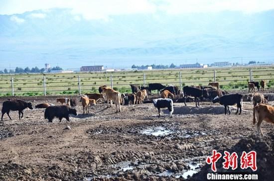 资料图:青海省海南藏族自治州兴海县的科秀塘桑当奶牛养殖专业合作社。中新社记者 鲁丹阳 摄