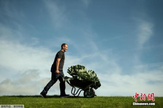 當地時間2019年9月13日,英國約克郡哈羅蓋特,當地第44屆秋季花卉展期間舉辦巨型果蔬競賽,各種大號蔬菜輪番亮相。圖為一男子用手推車運送巨大的蔬菜。