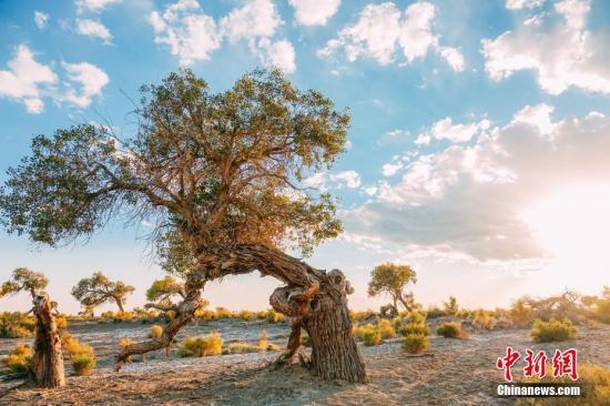 资料图:新疆克拉玛依市乌尔禾区万亩胡杨林。图 艾克