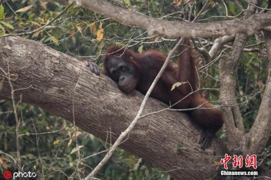 当地时间2019年9月19日,印尼Palangkaraya,印尼近日发生森林大火,影响当地动物生活,一只幸运逃过森林大火的红毛猩猩在河边。 图片来源:ICphoto