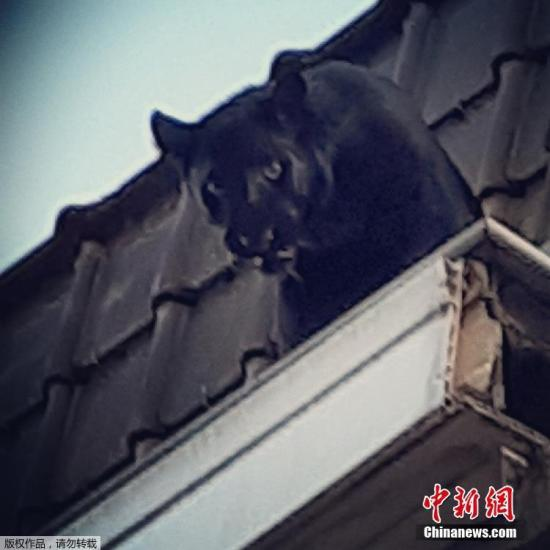 当地时间9月19日,法国阿门提埃尔市当地消防队救下了一只在屋顶的游荡的黑豹。这只黑豹可能是私人非法购买获得的。