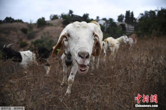 当地时间2019年9月26日,美国加州,森林大火多发季节来临,当地让山羊在山坡上吃草,通过啃食干枯的灌木丛和活的植被,清除10英亩的可燃燃料。目前,加州正在使用各种方法来清除燃料,以应对又一个危险的野火季节。