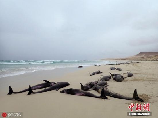 当地Loro Parque公园的工作人员试图将这些海豚送回大海,但没有成功。图片来源:ICphoto