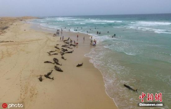 当地时间2019年9月25日,佛得角博阿维斯塔岛,海豚在当地海滩上搁浅。图片来源:ICphoto