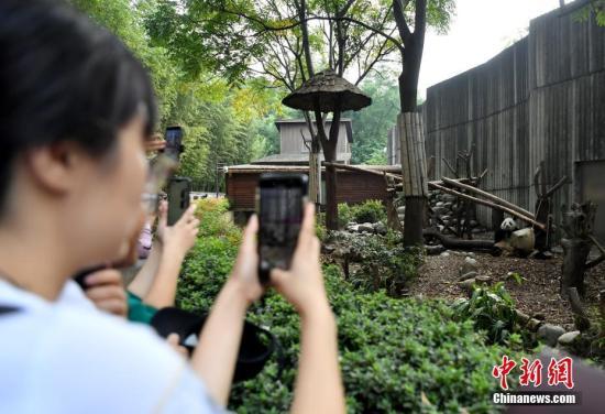 10月1日國慶假期首日,成都大熊貓繁育研究基地憨態可拘的大熊貓。圖為游客用手機拍攝憨態可拘的大熊貓。安源 攝