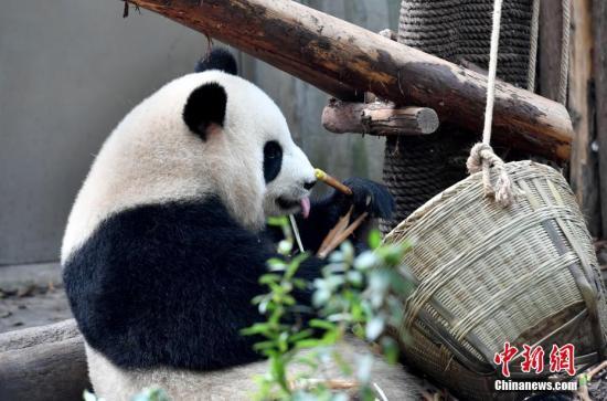 10月1日国庆假期尾日,成皆年夜熊猫繁育研讨基天憨态可拘的年夜熊猫。图年夜熊猫正在享用好食。安源 摄