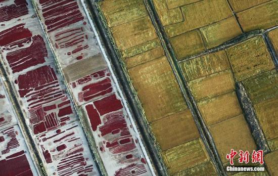 """图为在新疆博湖县乌兰再格森乡,水稻与正在晾晒的辣椒交相辉映如同""""五彩地毯""""。 确·胡热 摄"""