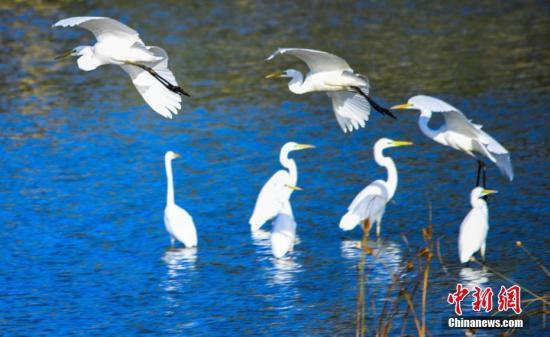世界低危物種中白鷺群首次在青海祁連出現