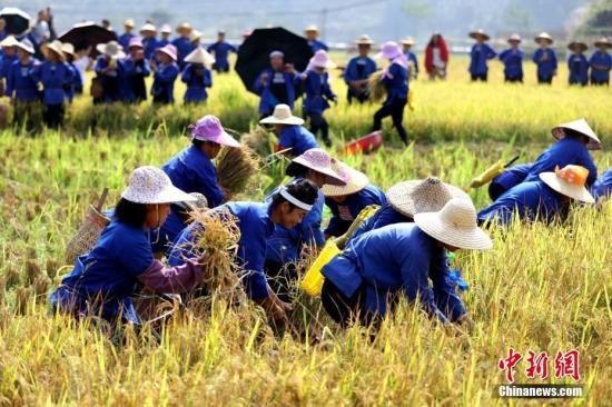 侗族妇女在田间收割稻谷。(资料图)吴练勋 摄