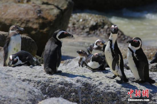 企鵝的叫聲是怎樣的?研究發現企鵝語言模式與人類相似
