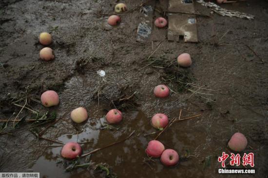"""當地時間10月15日,臺風""""海貝思""""過后,日本長野縣一處果園內,蘋果散落在泥濘的地面。"""