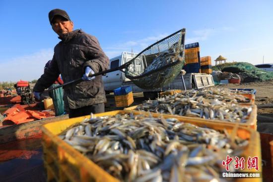 资料图:在新疆博斯腾湖,渔民正在捕捞池沼公鱼。