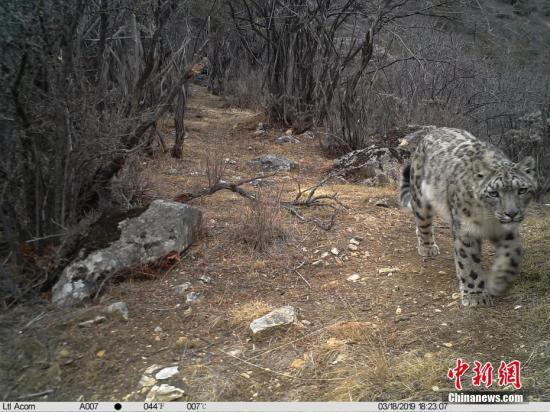图为雪豹。 山水自然保护中心供图