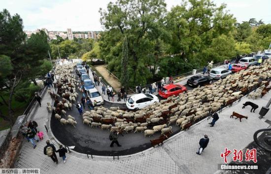 """本地工夫10月20日,正值西班牙马德里一年一度的""""迁移放牧节"""",牧羊人正在市中间放牧羊群。"""