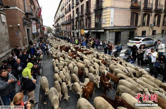 本地工夫10月20日,牧羊人西班牙马德里市中间放牧羊群。