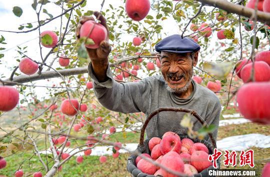 资料图:苹果丰收。 侯崇慧 摄