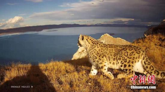 图为红外相机拍摄到的雪豹活动照片。青海省原上草自然保护中心提供