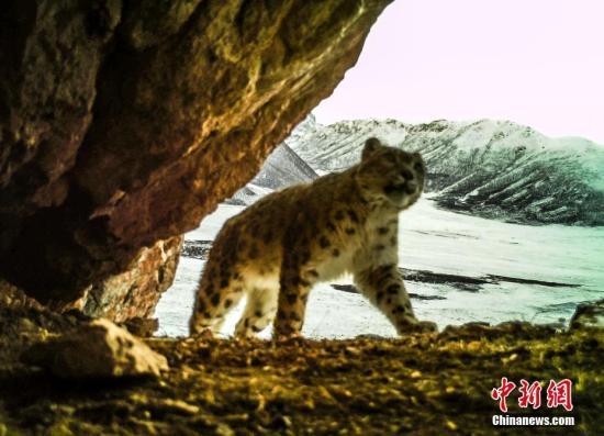 资料图为红外相机拍摄到的雪豹活动照片。青海省原上草自然保护中心供图
