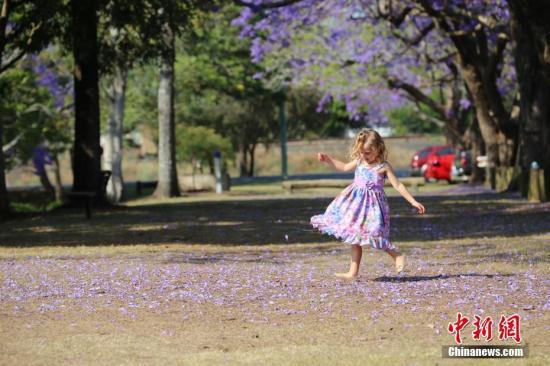 10月31日,小女孩在蓝花楹树下翩翩起舞。以蓝花楹闻名的澳大利亚新州北部小镇格拉夫顿(Grafton)正在举行第85届蓝花楹节(Jacaranda Festival),吸引了众多游客前来观赏游玩。<a target='_blank' href='http://www.chinanews.com/'>中新社</a>记者 陶社兰 摄