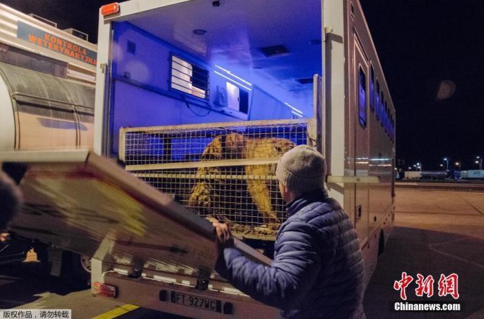 逃过马戏团人生!5只老虎赴西班牙开始新生活(图)