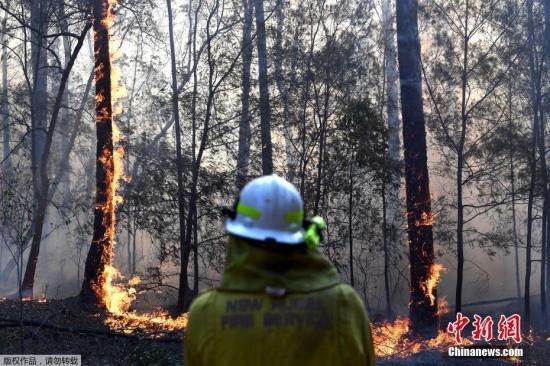 澳大利亚新南威尔士洲北部的丛林大火已蔓延2000公顷,其中包括重要的考拉繁殖地。