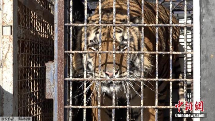 11月4日消息,近日,一辆从意大利开往白俄罗斯的卡车在波兰边境遭拦截检查时,海关人员竟发现车上关了10只老虎。据称,这些老虎在恶劣的环境里被关近一周,健康状况很差,其中一只于10月29日死亡。