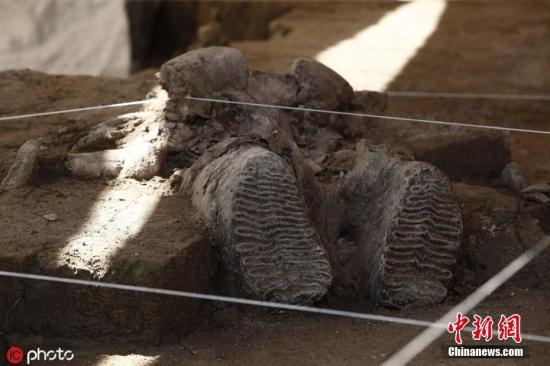 当地时间11月6日,墨西哥图尔特佩克市,当地一处人工陷阱中发现猛犸象遗骸,根据美国国家人类学和墨西哥历史研究所考古救援方向学者 Luis Cordoba先容,这是全世界有记录的第一批猛犸象人工陷阱。图片来源:ICphoto