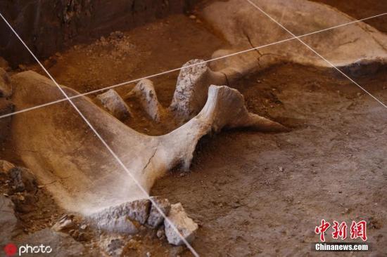 墨西哥发现14头猛犸象遗骸 或为最大规模发现(图)